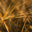 Grain ear on a field — Stok fotoğraf