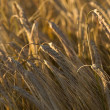Grain ear on a field — Foto Stock