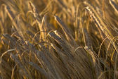 Grain ear on a field — Stock Photo