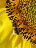 Bee on sunflower. — Stock Photo