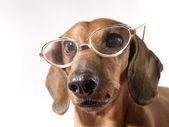 Pes s brýlemi — Stock fotografie