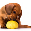 Plays puppy — Stock Photo