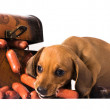 Sausages and puppy dachshund — Stock Photo
