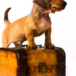 Dachshund puppy - Stockfoto