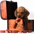 Stock Photo: Puppy hiding sausages in the chest