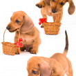 Puppy  dachshund and basket - Stock Photo