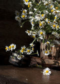 Camomile daisy flowers — Stock Photo