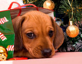 Puppy dachshund — Stock Photo