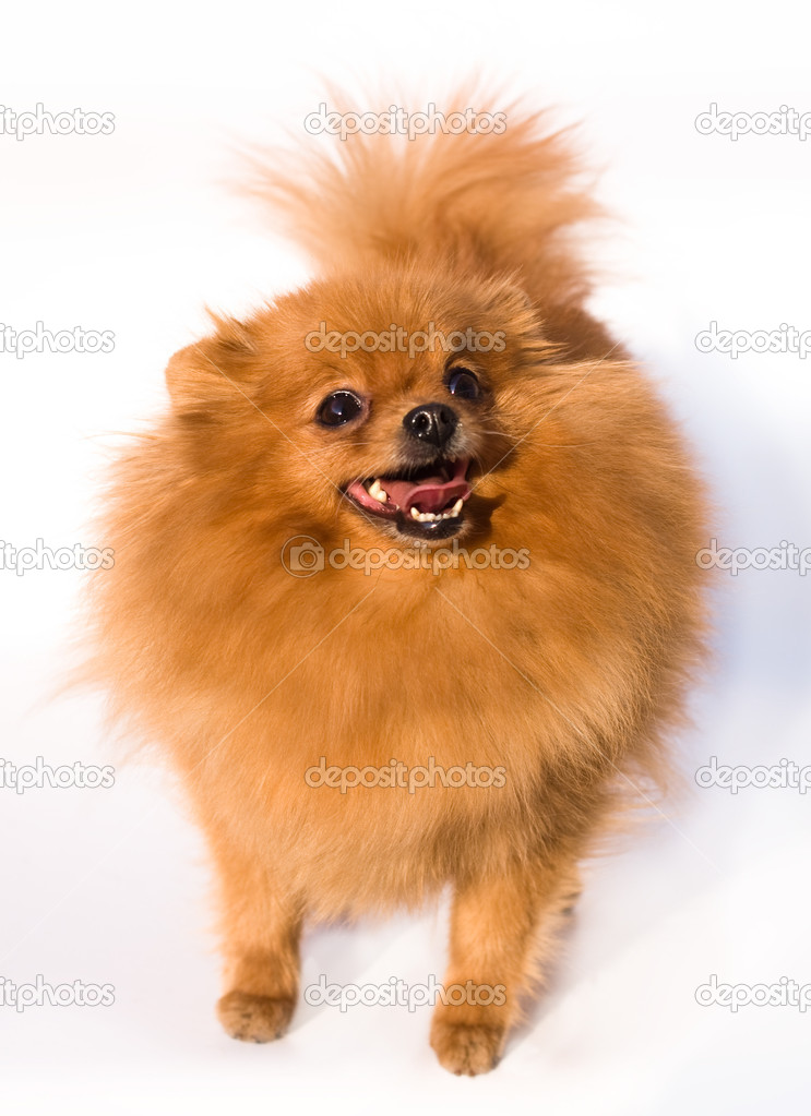 Spitz dog small and fluffy — Stock Photo #2469146