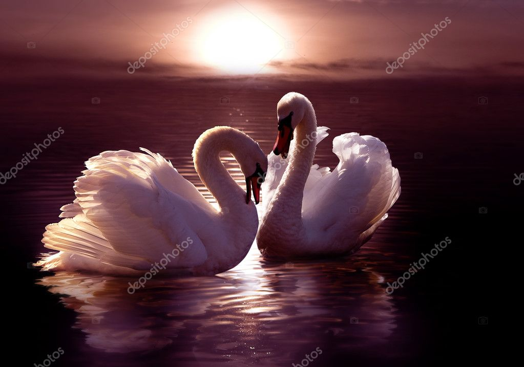 Loving swans forming a heart  Stock Photo #2484862