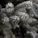 Pine-tree branch under snow — Stock Photo