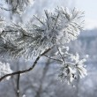 Macro of pine-tree branch under snow — Stock Photo