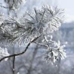 Macro of pine-tree branch under snow — Stock Photo
