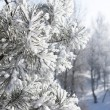 Closeup of pine-tree branch under snow — Stock Photo #2653068
