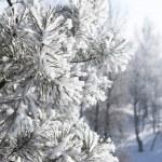 Closeup of pine-tree branch under snow — Stock Photo