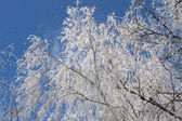 Branches of a tree in frost — Stok fotoğraf