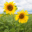 Two yellow sunflowers — Stock fotografie
