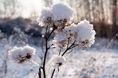 Frozen burdock plant — Stock Photo