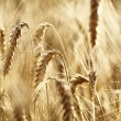 Gold wheat . macro shot — Stock Photo