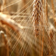 Stock Photo: Gold wheat in water. macro shot
