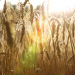 Stock Photo: Gold wheat . flare efect