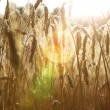 Gold wheat . flare efect — Stock Photo