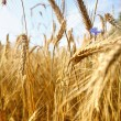 Gold wheat and blue sky - Stock Photo