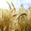 Foto Stock: Gold wheat and blue sky