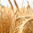 Stock Photo: Gold wheat and blue sky