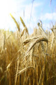 Gold wheat and blue sky — Stok fotoğraf