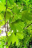 Bladeren van esdoorn — Stockfoto