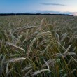 Royalty-Free Stock Photo: Field of wheat