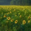 Farmland Field of Sunflowers — Stock Photo