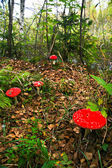 Fly-agaric — Stock Photo