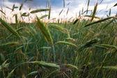 小麦畑 — ストック写真