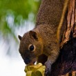 Squirrel eats a banana — Stock Photo
