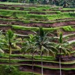 View of the rice terraces — Stock fotografie
