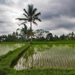 Rice terrace — Stock Photo #1618911