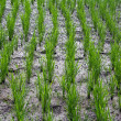 Stock Photo: Rows of young sprouts of rice