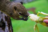 Squirrel eats a banana — Stock Photo