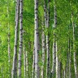Spring green birch forest - Stock Photo