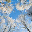 Blue sky in beautiful winter forest — Stock Photo