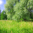 Weeping willow and meadow — Stock Photo #1615945