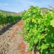 Valley vineyard — Stock Photo