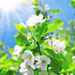 Blossom apple tree — Stock Photo #1616348