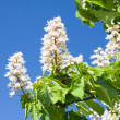 Stock Photo: Blossom of chestnut tree