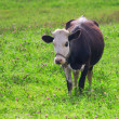 Stock Photo: Cow in the clover field