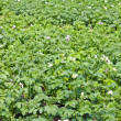 Green potatoes field — Stock Photo