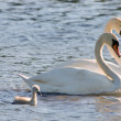 Couple of white swans and young cygnets — Stockfoto