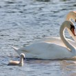 Couple of white swans and young cygnets — Stock Photo